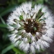 Dandelion with Dew drops — Stock Photo