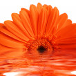Gerbera flower — Foto Stock