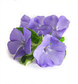 Periwinkles — Stock Photo