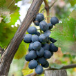 Grape — Stock Photo #1789619