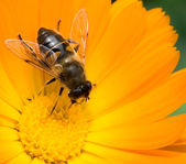 Bee on yellow flower collects nectar — Stock Photo