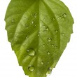 Plant leaf and water drop — Stock Photo #1835956