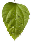 Plant leaf and water drop — Stock Photo