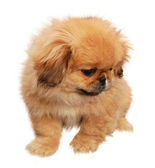 Three months old pekinese puppy — Stock Photo