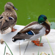 Couple of ducks — Stock Photo #1684373