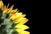 Sun flower detail — Stock Photo