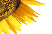 Sun flower detail — Stock Photo