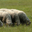 Sheep. - Stock Photo