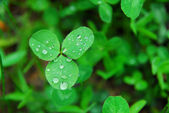 Green clover leaves after — Stockfoto