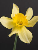 Flower the Narcissus — Stock Photo