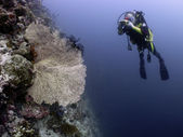 Diver taking photograph of coral sea fan — Stock Photo