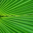 Symmetric Palm leaf close-up — Stock Photo