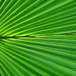 Stock Photo: Symmetric Palm leaf close-up