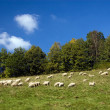 Sheeps in the mountains — Stock Photo