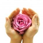 rose rose à deux mains — Photo