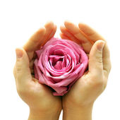 Pink rose in two hands — Stock Photo