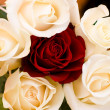 The roses — Stock Photo
