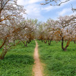 Blooming almond trees — Stock Photo