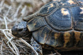 Crawlen schildkröte — Stockfoto