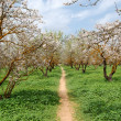 Almond trees - Foto Stock