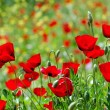 Poppy field - Foto de Stock