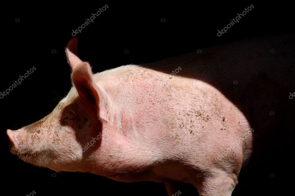 Portrait of a pig. Domestic farm mammal animal. — Stock Photo #1846511