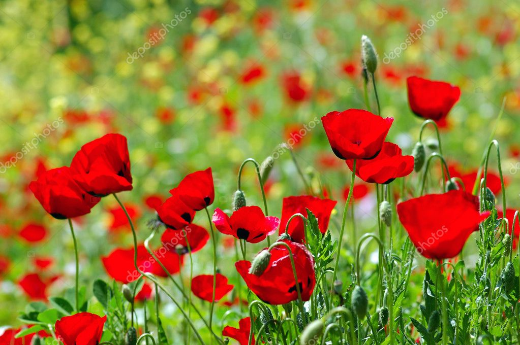 Field of blooming poppy flowers. Spring season background. — Stock Photo #1846548