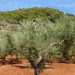Olive trees plantation — Stock Photo