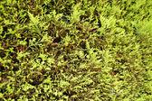 Fir tree texture — Stock Photo