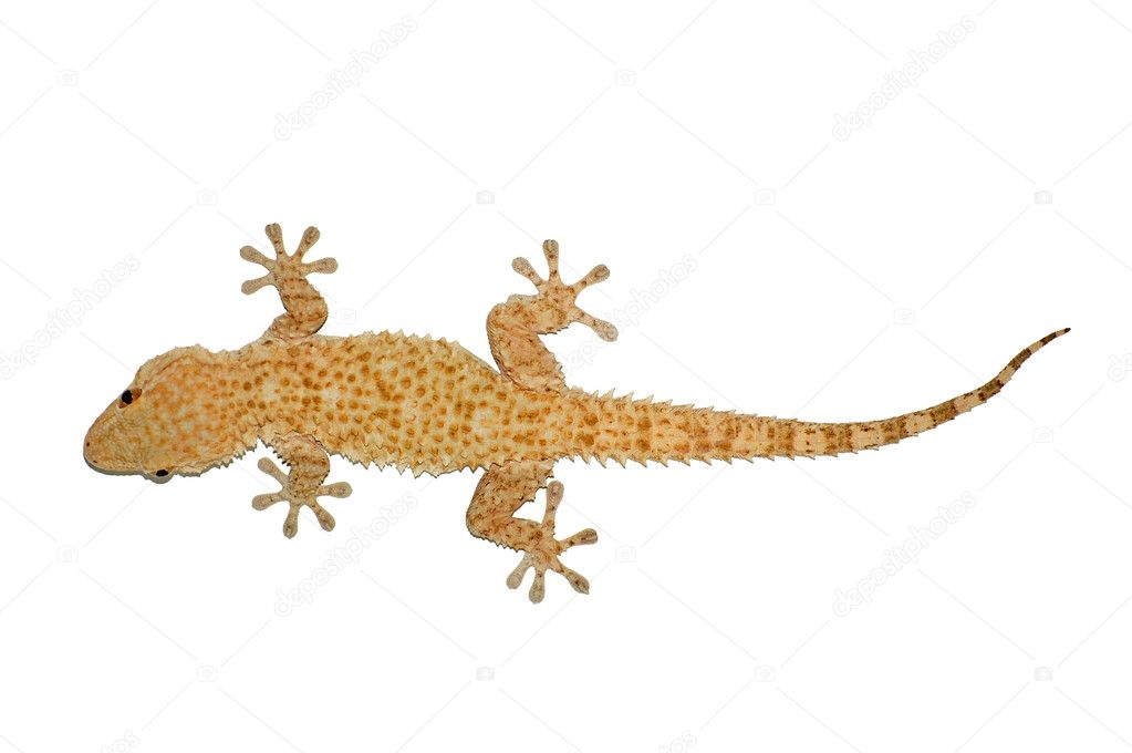 Small gecko reptile lizard against a white background.  Stock Photo #2073014