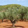Olive trees — Stock Photo #2111195