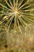 Dandelion macro — ストック写真