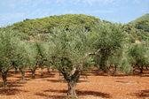 Drzewa oliwne — Zdjęcie stockowe
