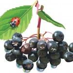 Здесь вы найдете такие ягоды как брусника, клубника, земляника, малина, смородина красная и черная, ежевика, облепиха...