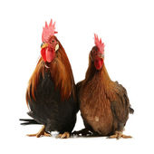 Italian red rooster and hen — Stock Photo