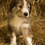 Puppy — Stock Photo