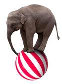 Elefantito en bola — Foto de Stock