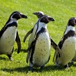 Humboldt Penguins — Stock Photo #1590702