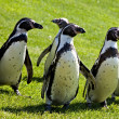 Humboldt Penguins - Stock Photo