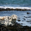 Grey seal — Stock Photo