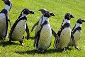 Humboldt Penguins — Foto Stock
