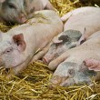Baby pigs — Stock Photo #1636449