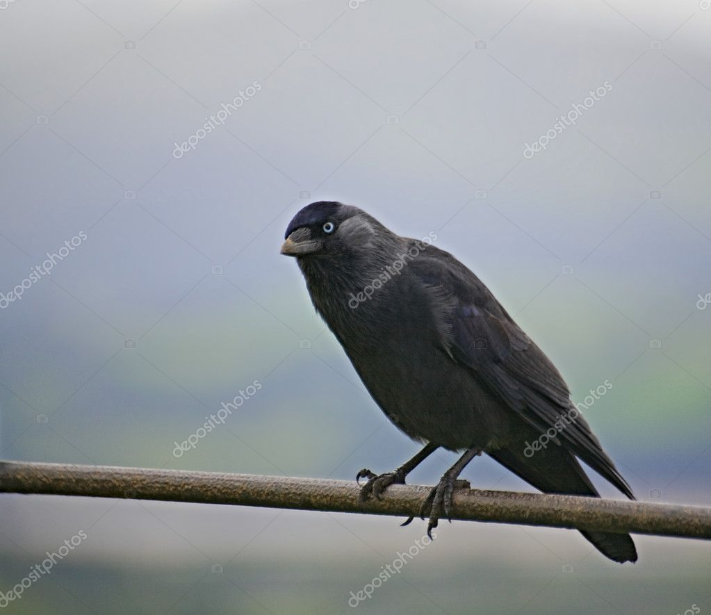 A hooded crow sitting on a fence.  Stock Photo #1635916