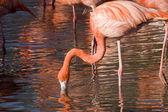 Flamingos — Стоковое фото