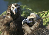 Mating vultures — Stock Photo