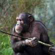 Stock Photo: Chimp