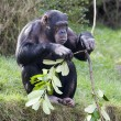 Chimp — Stock Photo