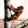 Stock Photo: Orang in tree