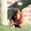 Stock Photo: Baby orang