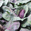 Stock Photo: Red cabbage